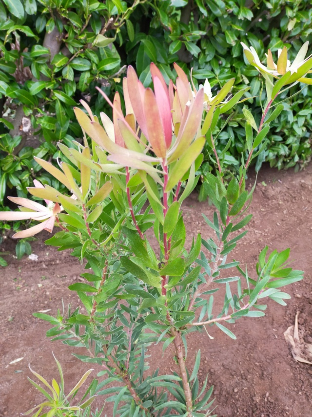 Leucadendron laureolum x salignum Img21018