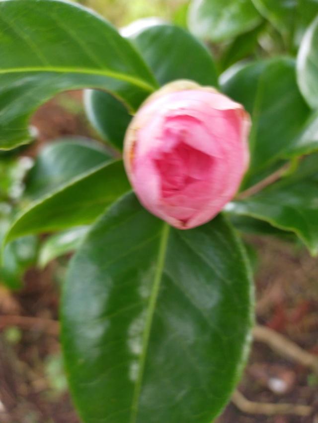 Camellia 'Mme Marie-Jo' Img21052