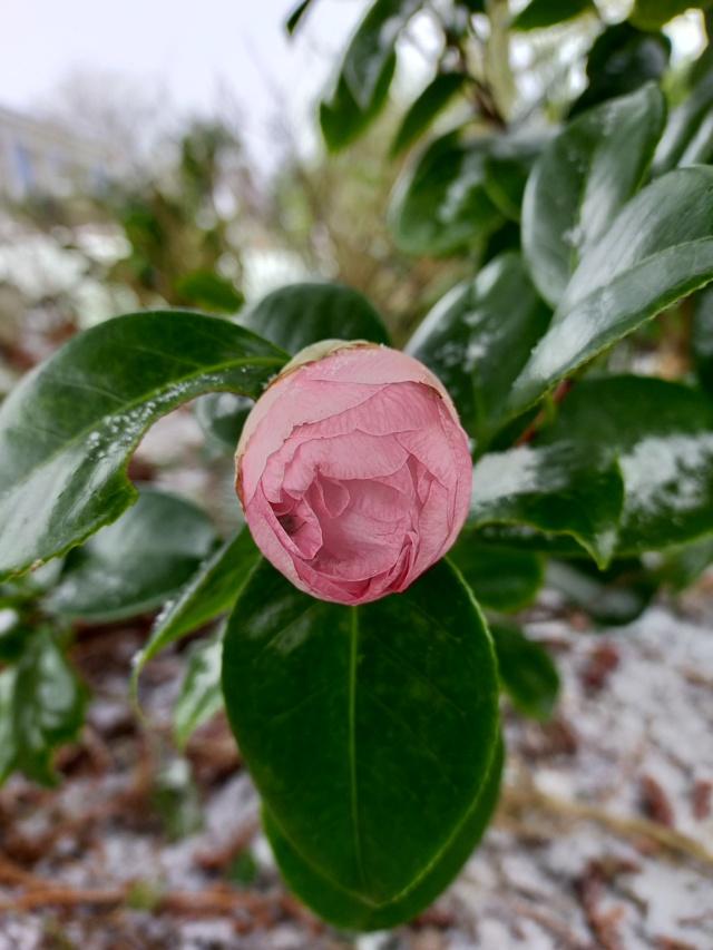 Camellia 'Mme Marie-Jo' Img21054