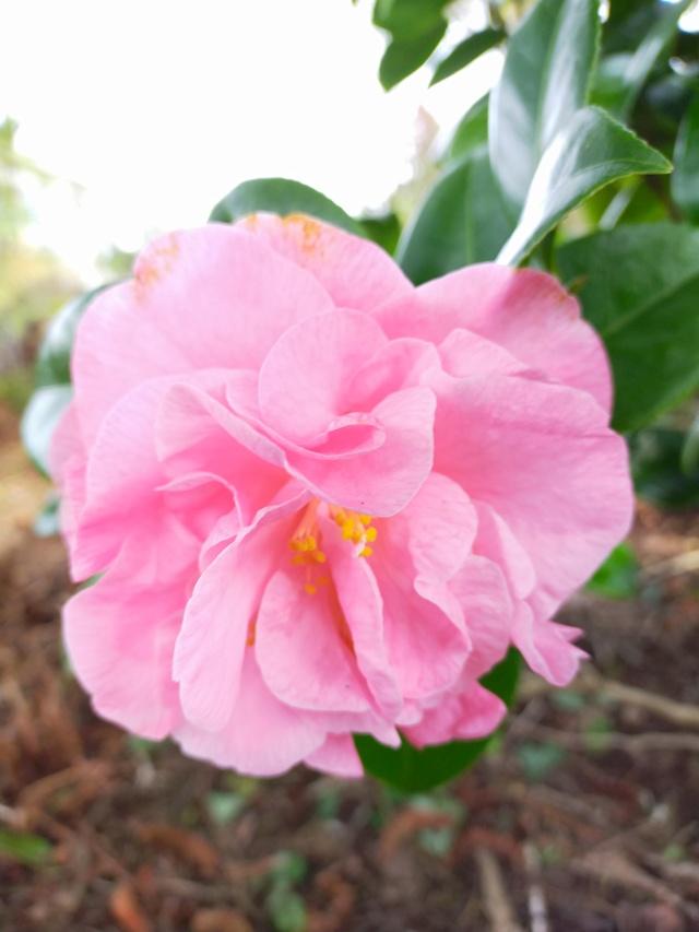Camellia 'Mme Marie-Jo' Img21073