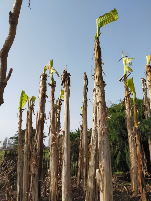 Musa basjoo - bananier du Japon - Page 5 Img21130