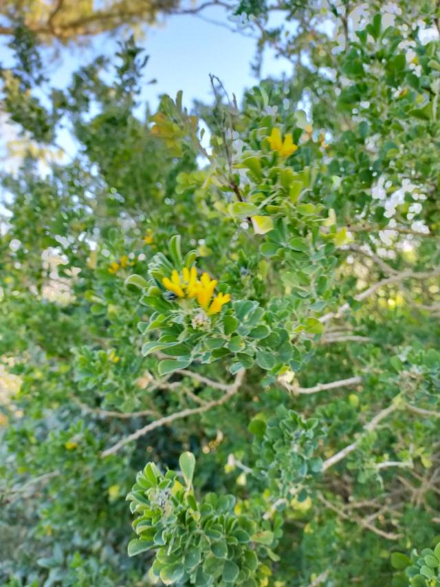 Medicago arborea - luzerne arborescente Img21150