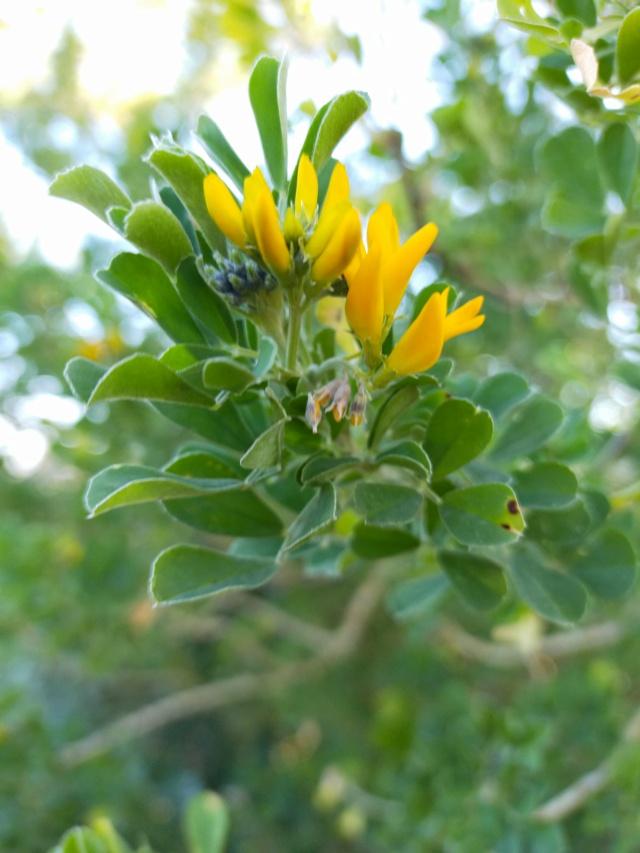 Medicago arborea - luzerne arborescente Img21151