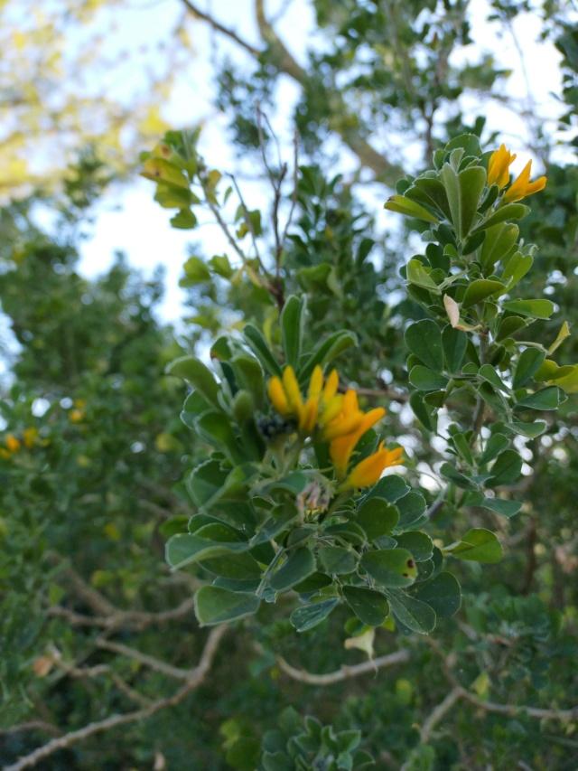 Medicago arborea - luzerne arborescente Img21152