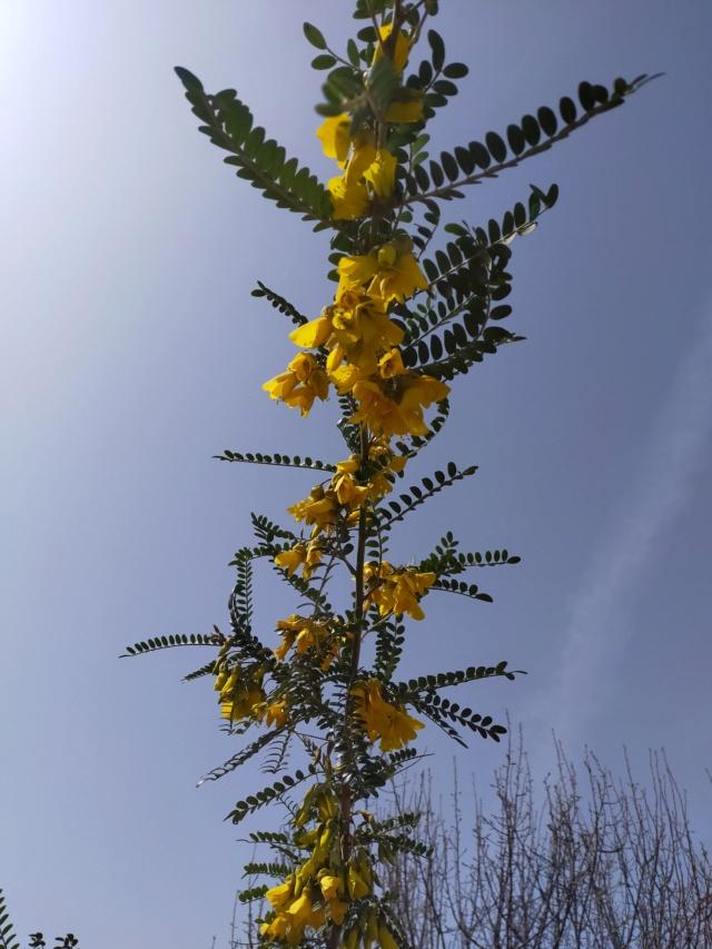 Sophora 'Sun King' Img21217