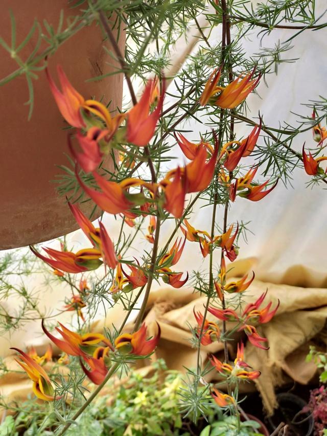 Lotus berthelotii - lotier de Berthelot Img21224