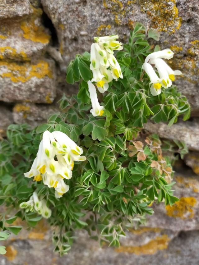 Pseudofumaria alba subsp. acaulis  (= Corydalis ochroleuca) Img21241