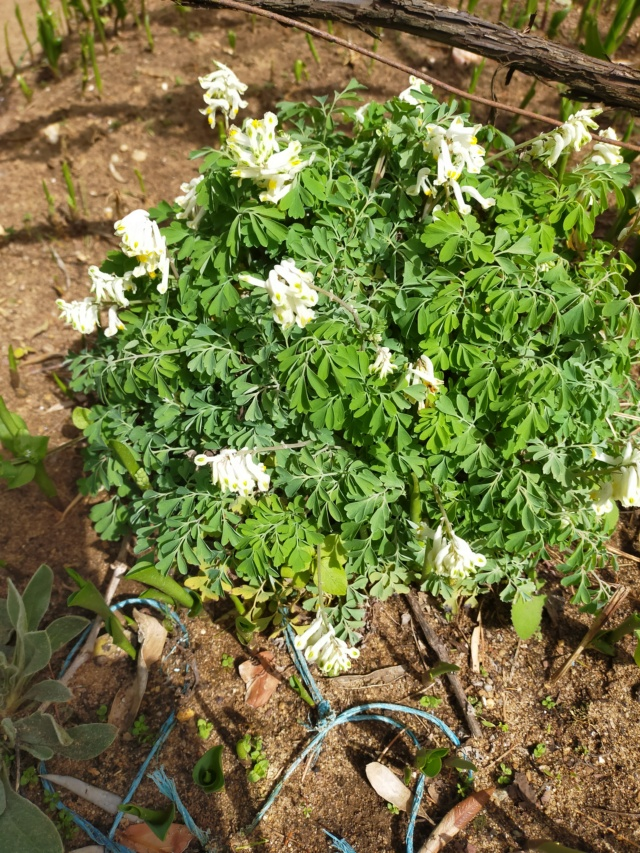 Pseudofumaria alba subsp. acaulis  (= Corydalis ochroleuca) Img21242