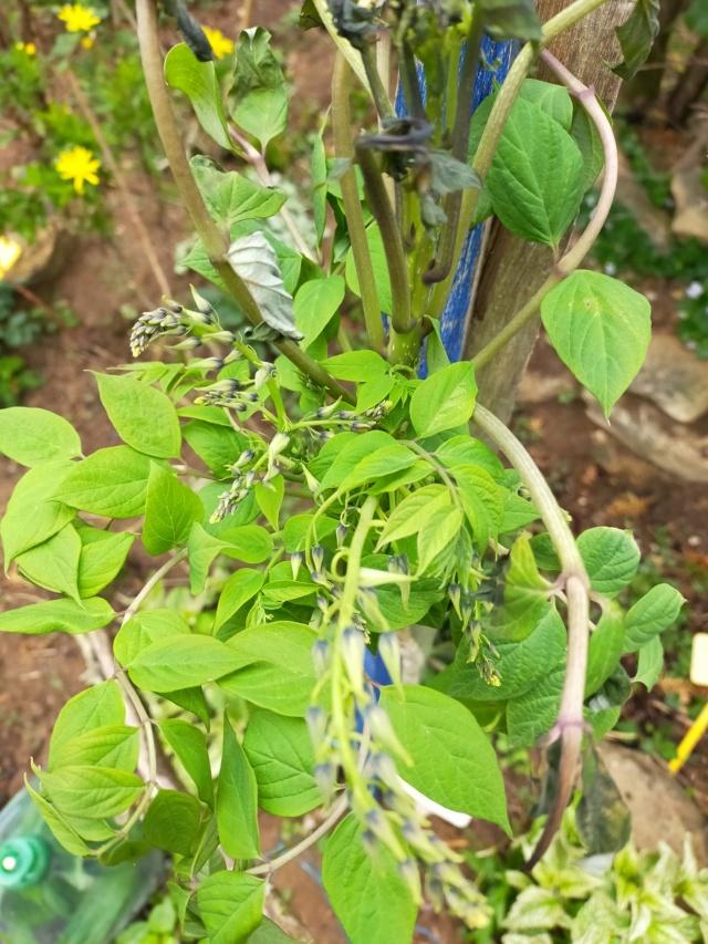 Decaisnea fargesii - arbre aux haricots bleus Img21290