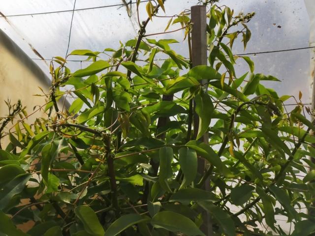 Erythrina crista-galli - Page 13 Img21330