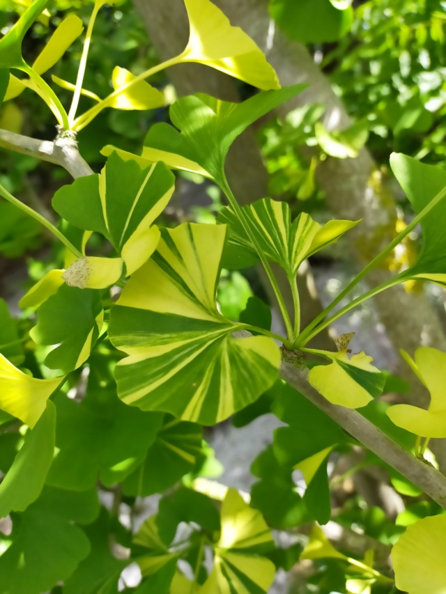 Ginkgo biloba f. variegata Img21455