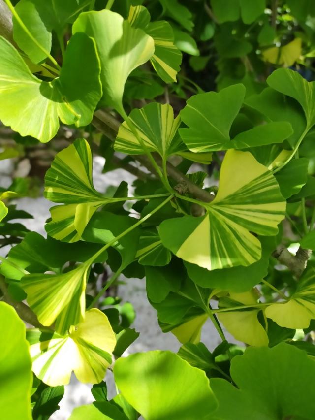 Ginkgo biloba f. variegata Img21456