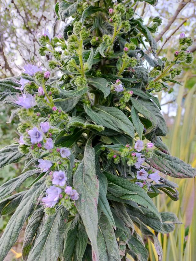 Echium pininana Img21467