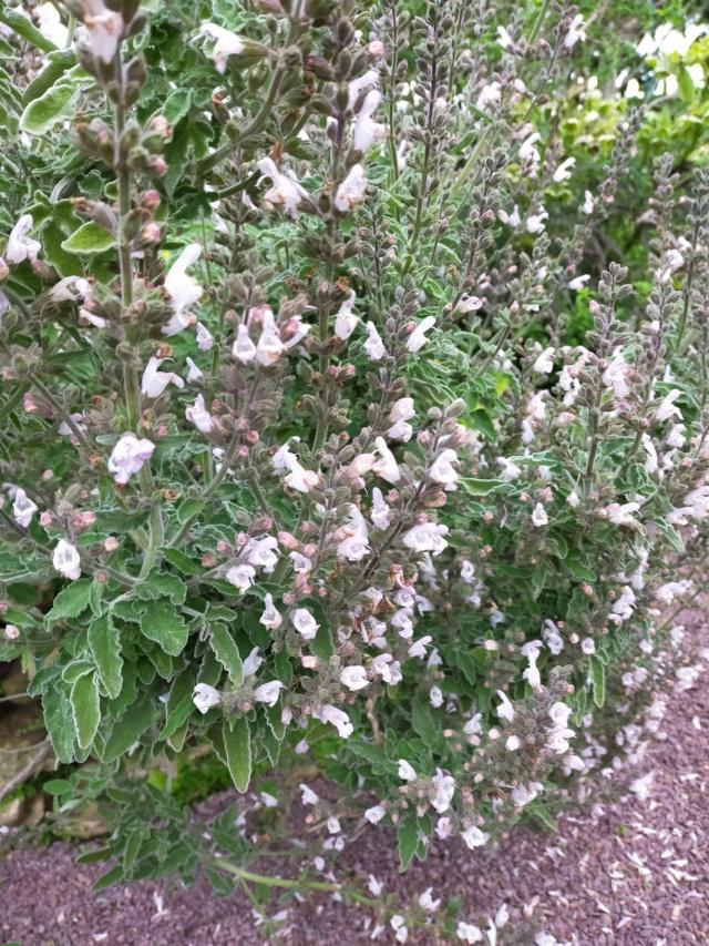 Un Salvia à identifier ??? - Salvia fruticosa [Identification] Img21469
