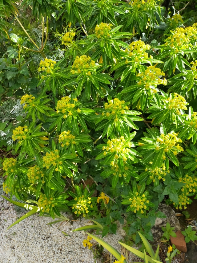 Euphorbia mellifera  - Page 2 Img21507