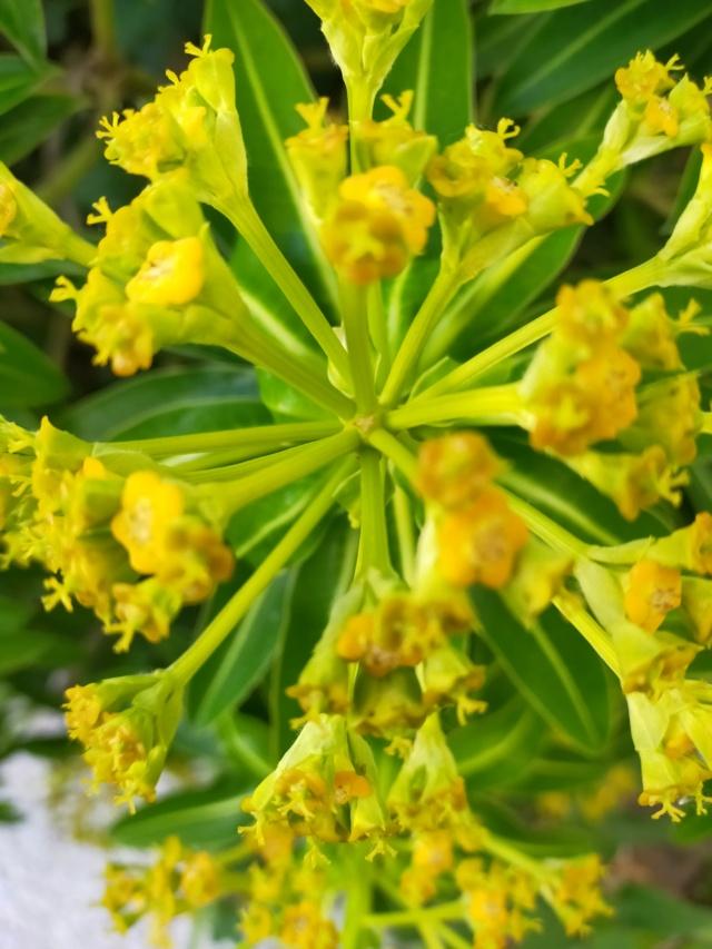 Euphorbia mellifera  - Page 2 Img21508