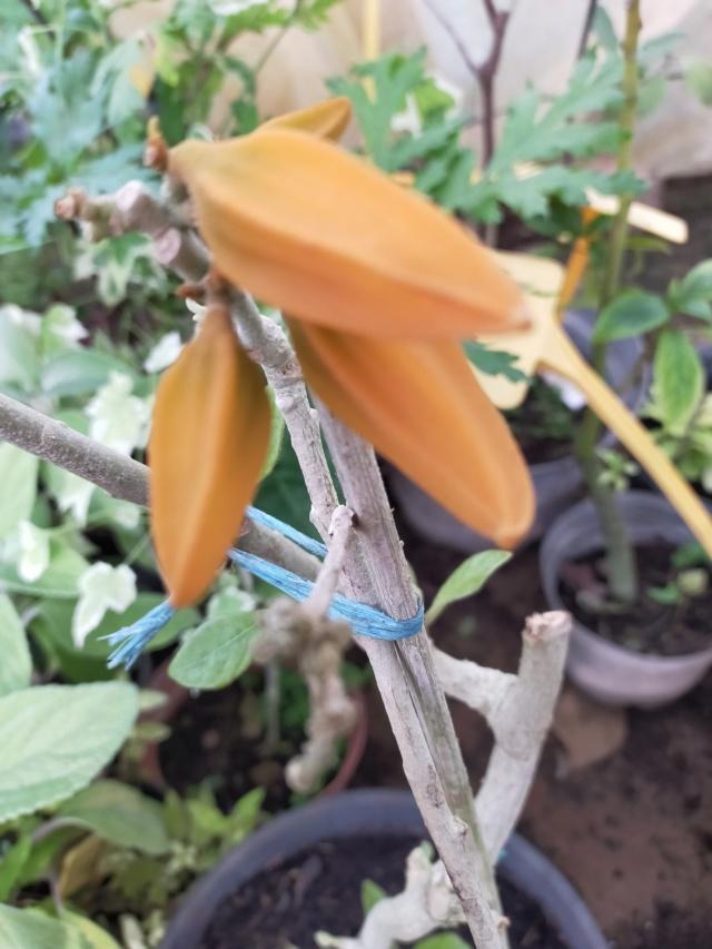 Juanulloa aurantiaca Img21636