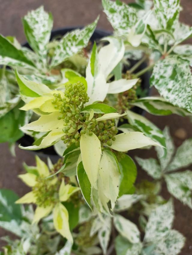 Parthenocissus quinquefolia 'Star Shower' - vigne vierge panachée Img21651