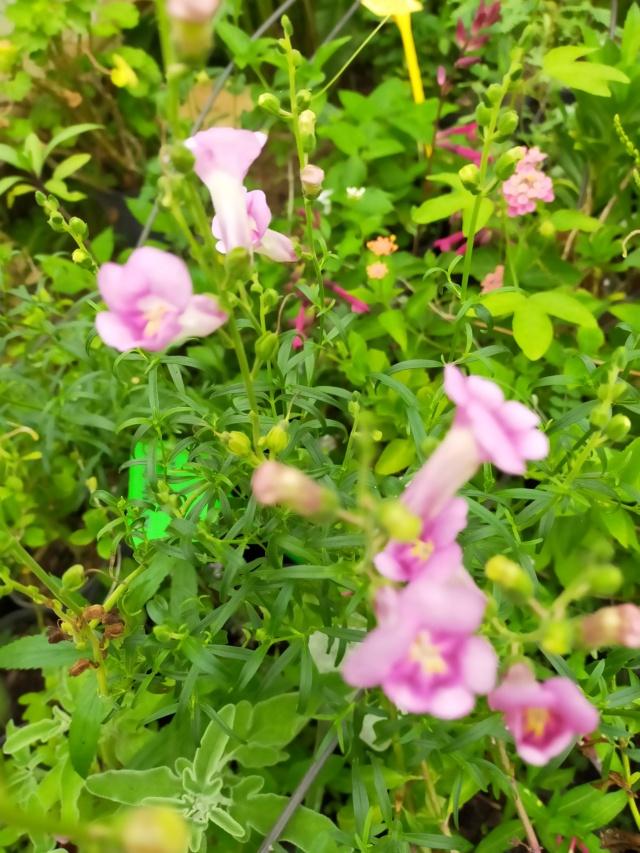 Antirrhinum majus 'Pretty In Pink' Img21677