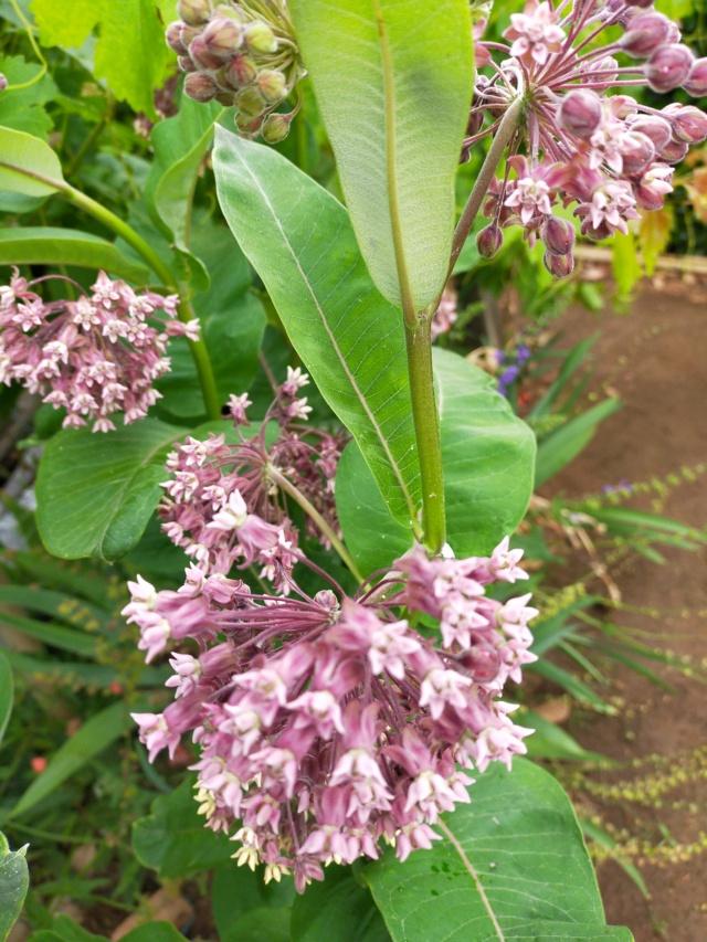Asclepias syriaca : soie végétale Img21704