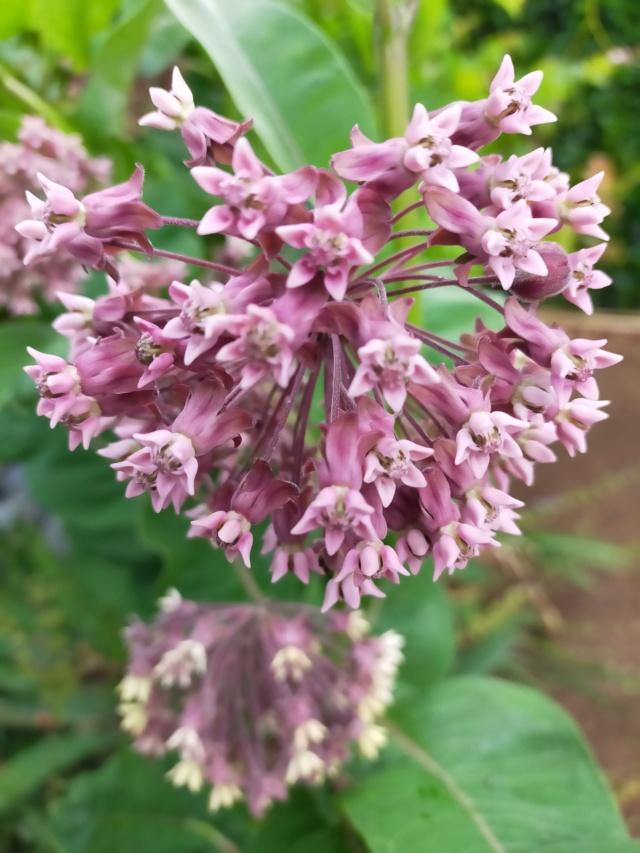 Asclepias syriaca : soie végétale Img21706