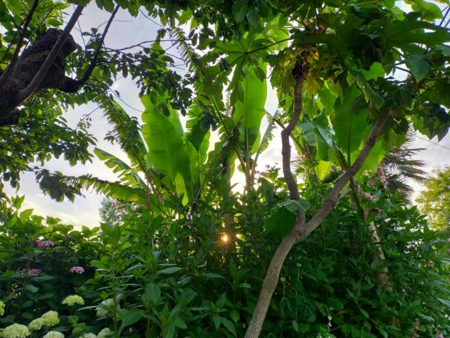 Musa basjoo - bananier du Japon - Page 5 Img21756