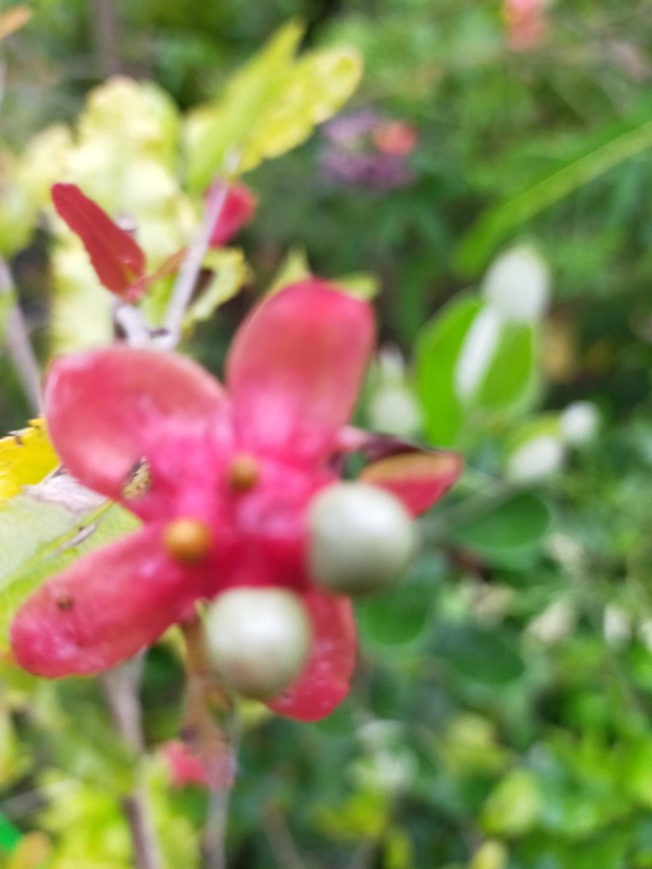 Ochna serrulata - plante à Mickey Img21781