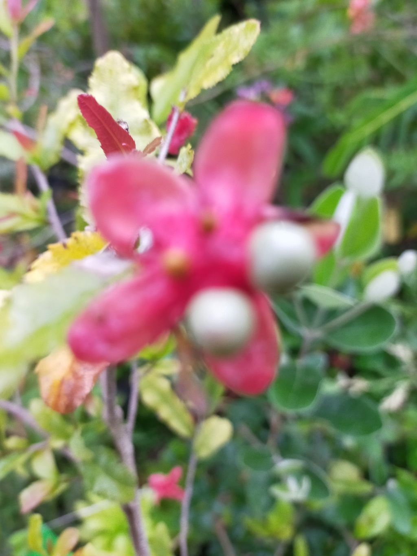Ochna serrulata - plante à Mickey Img21782