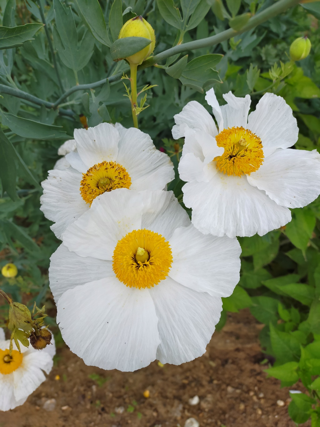 Romneya coulteri - Page 4 Img21796