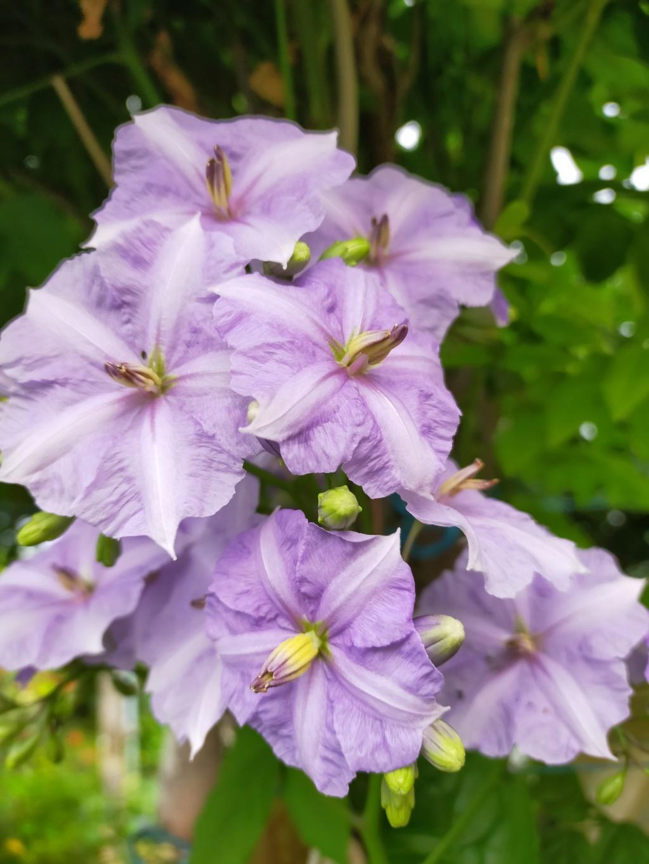 Solanum Wendlandii - [identification] Img21811