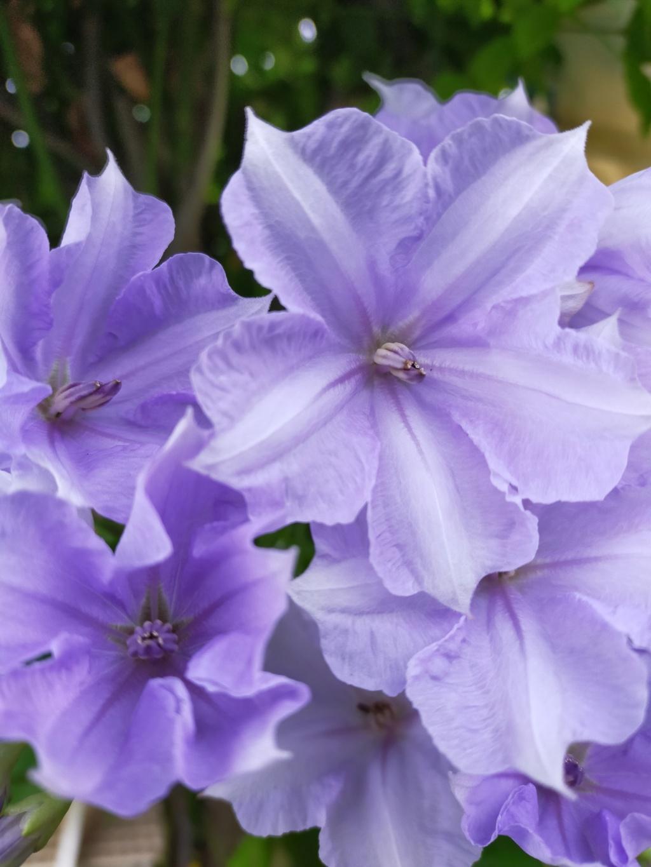 Solanum Wendlandii - [identification] Img21812