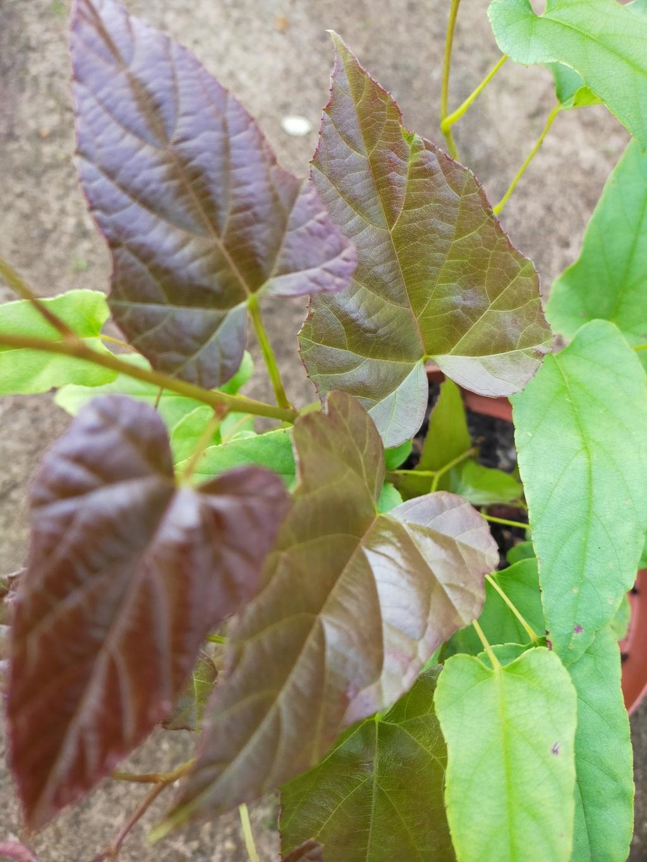 Rubus ichangensis Img21833