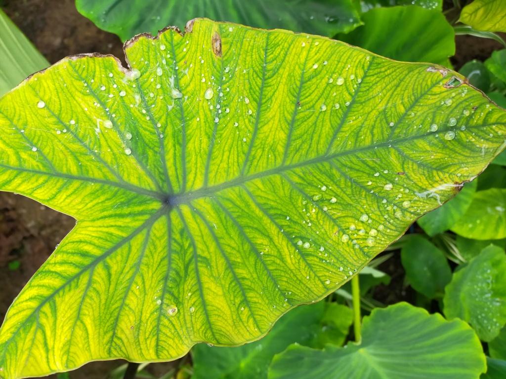 Colocasia esculenta - taro - Page 13 Img21848