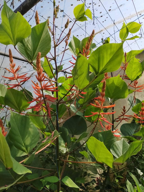 Erythrina montana  (syn Erythrina longipes) - Page 2 Img21850