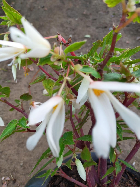 Begonia boliviensis - [identification] Img21860