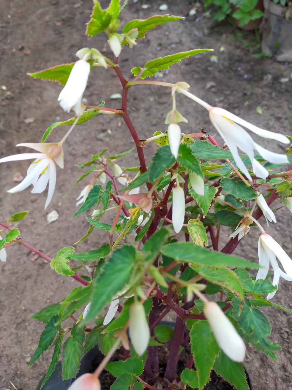 Begonia boliviensis - [identification] Img21862