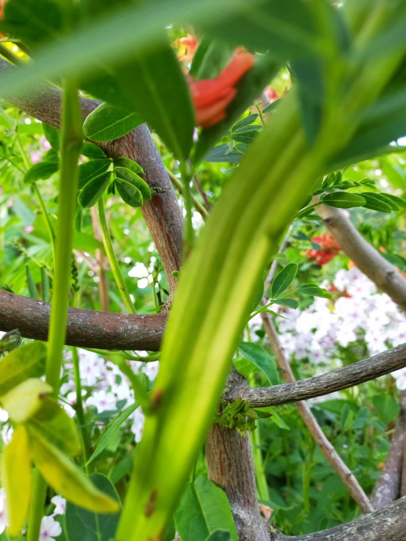 Des curiosités et anomalies dans certaines plantes Img21890