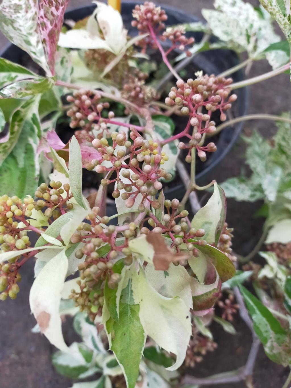 Parthenocissus quinquefolia 'Star Shower' - vigne vierge panachée Img21897