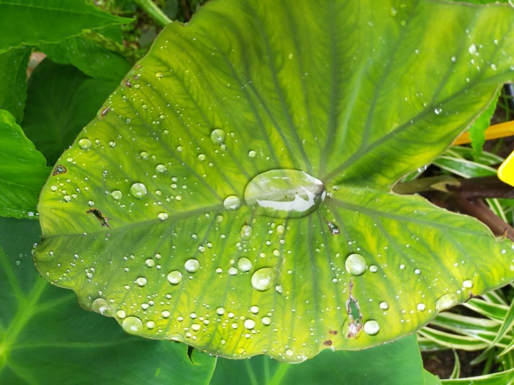 Couleurs et formes des feuilles dans les Colocasia Img21900