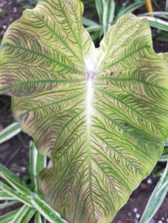 Couleurs et formes des feuilles dans les Colocasia Img21902