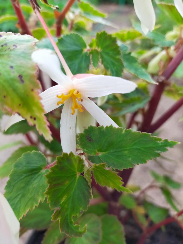 Begonia boliviensis - [identification] Img21924