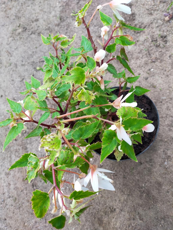 Begonia boliviensis - [identification] Img21925