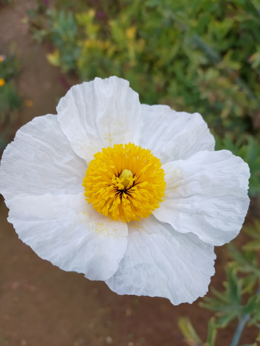Romneya coulteri - Page 4 Img22205