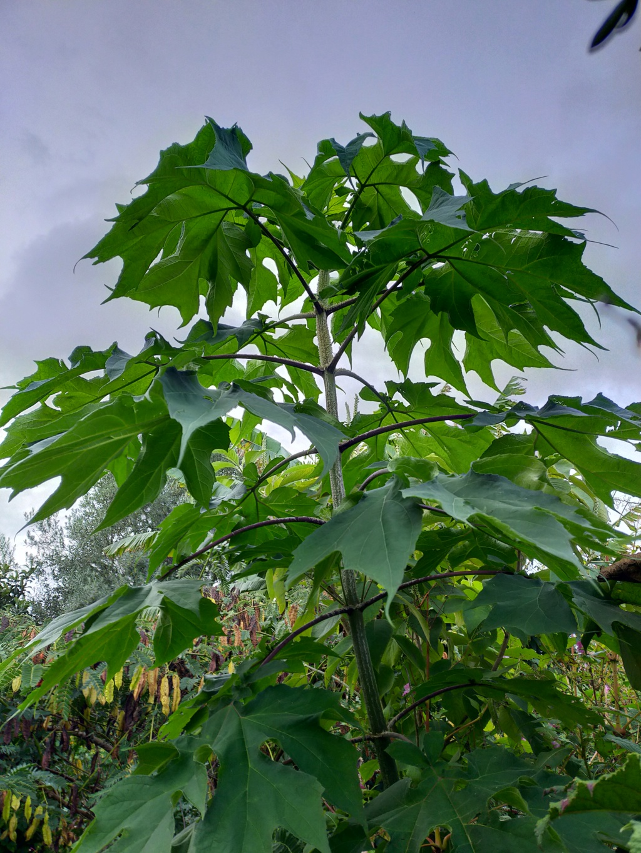 Montanoa hibiscifolia - arbre à marguerites - Page 3 Img22238