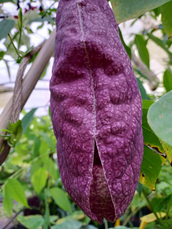 Aristolochia gigantea - Page 3 Img22256