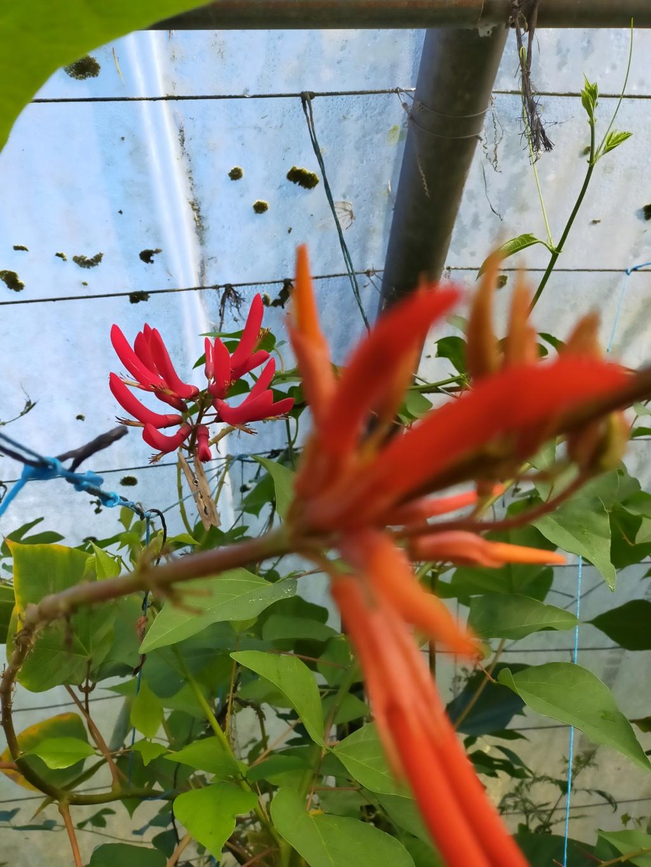 Erythrina montana  (syn Erythrina longipes) - Page 2 Img22304