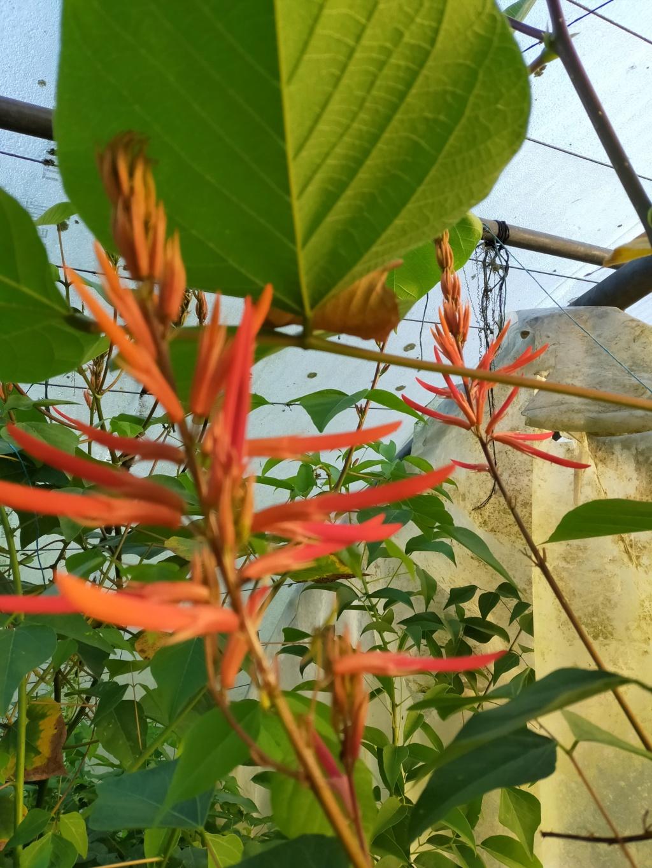 Erythrina montana  (syn Erythrina longipes) - Page 2 Img22371