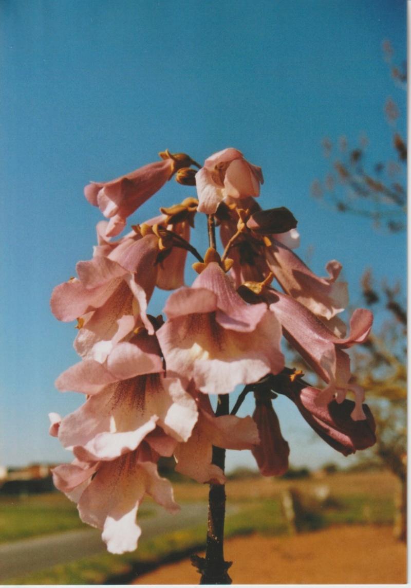 Paulownia fortunei ® 'Minfast' Numzo103