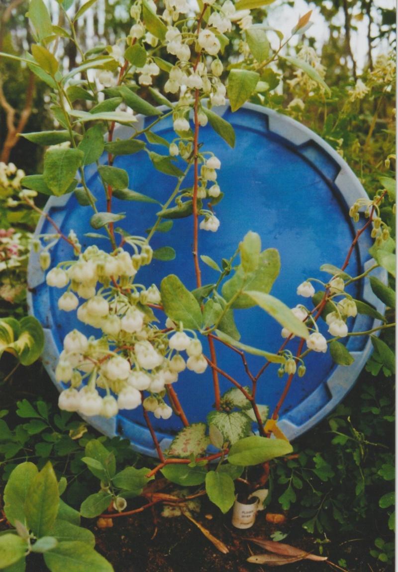 "Zenobia Pulverulenta ""Blue Sky"" - muguet en arbre Numzo119"