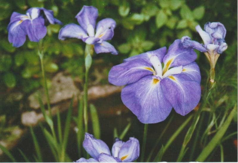 Iris  d'eau, à indentifier ? Numzo124